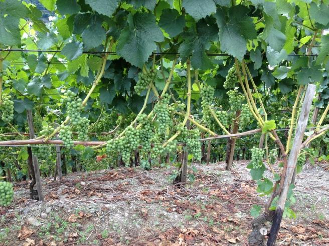Die Weinreben im August bei Dernau